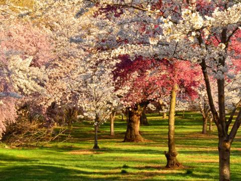 Cerisiers en fleurs au Cherry Blossom Festival dans Branch Brook Park