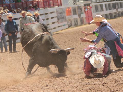 Cowboys affrontant un taureau lors des Cheyenne Frontier Days