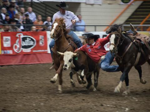 Capture du veau au Black Hills Stock Show and Rodeo